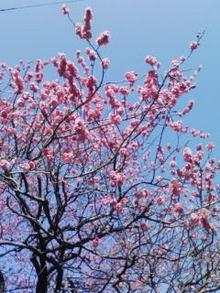 200902霧が丘弁財天様の梅の木.jpg